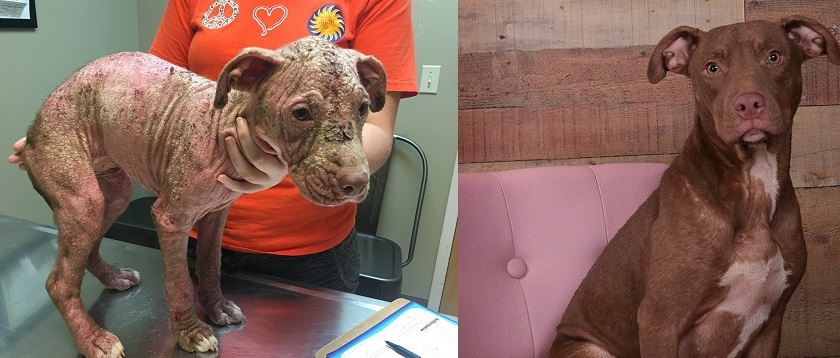 This is Joli! She is an American Pit Bull Terrier. She came into the rescue with a case of hereditary mange that was so bad, that she was completely hairless. She was our first court animal abuse case and is now healthy and beautiful.