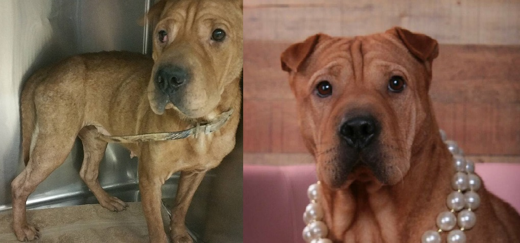 This is Luna! She was found abandoned on our infamous dirt road. She is a Chinese Shar pei. The picture on the left is the day she was found. The right is after several months of good nutrition, surgery to correct her cherry eye, and heartworm treatment. She is a beauty!