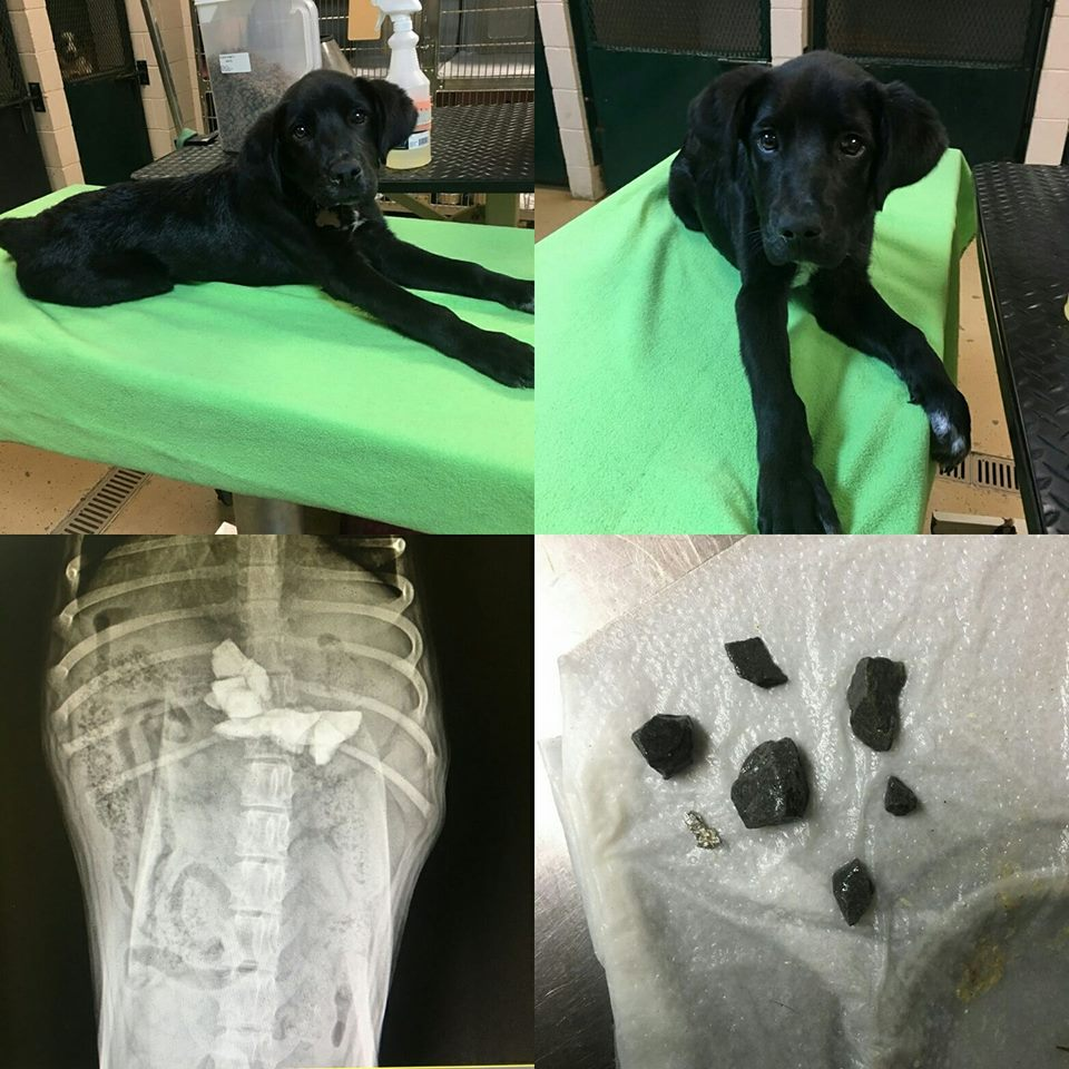This is Hector! We were called by a concerned family that found this dog outside of their house. They believed he had been hit by a vehicle because he was walking funny on his back legs. It was below freezing outside and law enforcement claimed the only assistance they could offer was putting him down. The vet discovered a mass in his stomach. Emergency surgery was performed and six rocks and a piece of aluminum foil were removed. He will continue to improve with proper nutrition.